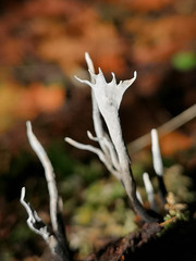 IMG_112932 (TMM Cotter) Tags: gowlland tod provincial park victoria bc candlesnuff fungus xylaria closeup fall autumn