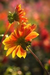 Have a sunny week ! (FocusPocus Photography) Tags: dahlie dahlia blume flower leuchtendefarben vibrantcolours dahlienschau dahliaexhibition killesberg