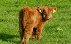 SF23 (tubblesnap) Tags: highland cattle cow cows coos calf calves hellifield beef cute farm birthday treat lightroom panasonic lumix furry cuddly yorkshire dales ginger