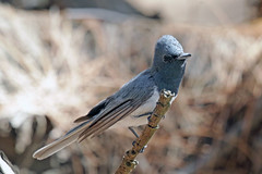 Leaden Flycatcher (Alan Gutsell) Tags: leaden flycatcher leadenflycatcher federation spit queenslandbirds queensland australian australia alan nature wildlife canon