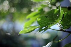 HBW 39/2018: fig tree (Frau Koriander) Tags: hbw happybokehwednesday bokehwednesday bokeh dof depthoffield 50mm nikkore50mmƒ18 nikond300s nature natur feige feigenblatt figtree feigenbaum light licht