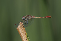 Una mañana de septiembre (Aristides Díaz) Tags: insecto macro odonato zigóptero vidasilvestre libélula dragonfly sympetrumsinaiticum humedal lagunasdelpadul granada andalucía sigmaexdghsm150f28macro nikond7500
