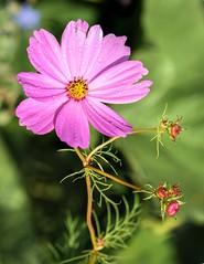 Le Cosmos et ses satellites (watbled05) Tags: macro fleurs bokeh bourgeon couleurs extérieur goutte hautesalpes jardin cosmos plante