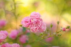 Autumn painting (Baubec Izzet) Tags: baubecizzet pentax bokeh flower roses autumn