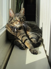 Piepkat (Rick van Hemert) Tags: piep kat chat cat katze piepkat amsterdam netherlands nederland holland home window sun windowsill gato gatto katt قط kot feles 05102018 5oktober2018 europe