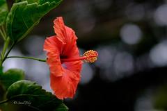 RAF-8673 (Sunil - Bhoj) Tags: heliar classic fujixt1 voigtlander75mm nature bokeh dof hibiscus red