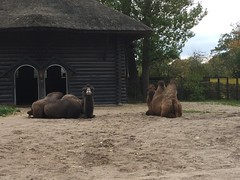 Two humps up, two humps down (Martha in Copenhagen) Tags: copenhagenzoo camels