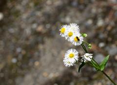 Season's flora ! There's a bee in my bouquet ! (Sriini) Tags: flowers white bee garden chrysanthemum japan nikon nikkor smile saturdayseasons flora smileonsaturday seasonsflora