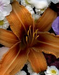 59217.20 Hemerocallis (horticultural art) Tags: flower flowers closeup hemerocallis daylily