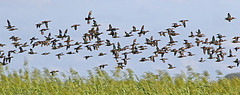 Blue-winged Teal (1krispy1) Tags: ducks dabblingducks teal bluewingedteal texasbirds