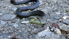 Attaque ! (bernard.bonifassi) Tags: bb088 06 alpesmaritimes 2018 octobre thiery counteadenissa reptile couleuvre macro