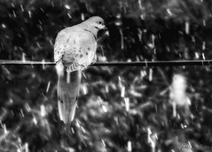 P4162108b(B&W)-Edit (john.cote58) Tags: dove bird mourningdove winter snow snowfall outside outdoors wire blackandwhite monotone monochrome professionalphotography josephyvoncote interiordesign art soft