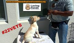 Yellow Lab-Cy-inTraining for Service Dog (videodocdigital) Tags: serviedogs 22vets veterans 22veterans therapydogs lovinghandsdogcarefoundation donatetoday leesburg florida usa usmilitary usveterans