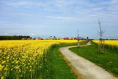 The path between rape (Yirka51) Tags: turn turning curve nature countryside landscape country spring sand forest wood cloud strata yellow colour color colored house building way pathway path footpath grass area tree field rapeoil rapeseedoil rape flower