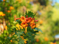 Small Flowers (awkward_annie) Tags: nature bokeh olympus carboncanyon carbon canyon naturephotography naturephoto natureshot bokehshot bokehphotography bokehphoto