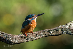Kingfisher - Male - Early morning light D85_5289.jpg (Mobile Lynn) Tags: kingfisher birds nature alcedoatthis aves bird chordata coraciiformes fauna wildlife winchester england unitedkingdom gb coth5 ngc npc