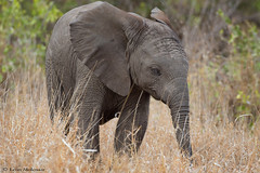Will it survive? (leendert3) Tags: leonmolenaar southafrica krugernationalpark wildlife nature mammals africanelephant ngc npc