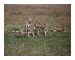 Guépard Masai Mara Kenya (Claire PARMEGGIANI Photos) Tags: africa africangallery africanlife africanwildlife eastafrica gamedrive kenya safari tsavo wildlife wildafrica guepard cheetah