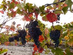Raïm Negre (2) (calafellvalo) Tags: vino viñas viñedos otoño tardor autumn wine viticulture grapes racimos fall vineyeards farming calafellvalo ocres nature uvasparravinotintoscalafellvalo