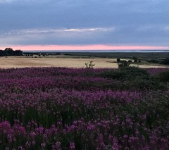 The Purple And The Pink (NJKent) Tags: sos smileonsaturday natureisanartist sunset sky flowers pink purple northnorfolkcoast northnorfolk norfolk uk