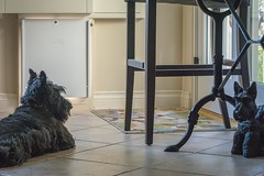 20181112 Come On Let me Out19752-Edit (Laurie2123) Tags: ddc ddc2018 dailydogchallenge maggie maggiemae missmaggie scottie scottieterrier scottishterrier scotty blackscottie blackscotty blackdog dog home
