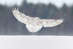 Chest...bras... DOS! (jlf_photo) Tags: harfang des neiges hibou quebec canada hiver neige blanc froid