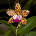 Cattleya Jerry Spencer – Anita Spencer