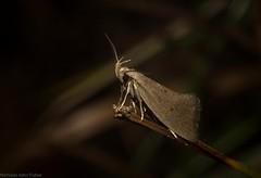 spring (dustaway) Tags: arthropoda insecta lepidoptera oecophoridae oecophorinae genus australianmoths australianinsects nature mounttamborine tamborinemountain sequeensland queensland australia chezalaspanic1