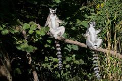 Ringstaartmaki - Ring-tailed lemur (Den Batter) Tags: nikon d7200 zooparc overloon ringstaartmaki ringtailedlemur lemurcatta