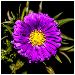 Aster (ralf.st) Tags: makro macro herbst sigma105mm blüte ralfstamm blume pflanze natur 2018 kissenaster aster