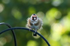 Fluffy Little Finch (jillyspoon) Tags: golden goldfinch garden gardenbird bird canon perched perch bokeh dof depthoffield fluffy fluffybird young canon70d canoneos canon70200 70200mm 70200 ef70200