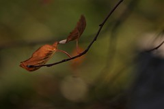 melancholy autumn 2 (EllaH52) Tags: branch twigs leaves faded dry autumn green bokeh macro minimalism