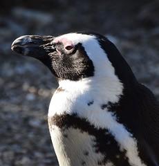 Black-Footed Penguin (MJ Harbey) Tags: penguin animal blackfootedpenguin bedfordshire zoo zsl whipsnade whipsnadezoo nikon d3300 nikond3300 jackasspenguin