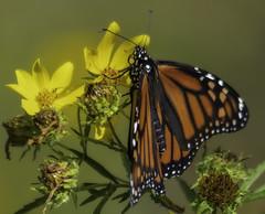 MonarchButterfly_SAF8624-2 (sara97) Tags: danausplexippus butterfly copyright©2018saraannefinke insect missouri monarch monarchbutterfly nature photobysaraannefinke pollinator saintlouis