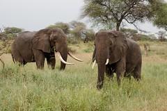Bull and Cow (iamfisheye) Tags: oliverscamp camera olympus elephants safari omd 1240mm asilia 1240 mkii tanzania2018 em1 kit tarangirenationalpark oly3 animal