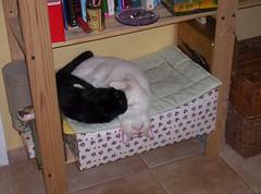 NUESTROS HIJOS... (LOISA FE) Tags: gatos cats familia family mascota hermanos brothers home casa hogar love amor pet blanco negro white black