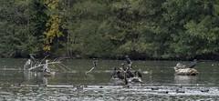 Rassemblement d'oiseaux sur le plan d'eau (2) (dom67150) Tags: nature wildlife oiseaux birds plandeaudeplobsheim krafft héronscendrés greyheron grandcormoran cormorant canardchipeau gadwall