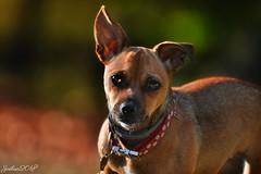 ~~ Je craque !!! ~~ (Joélisa) Tags: octobre2018 lily chien portrait yeux regard lumière
