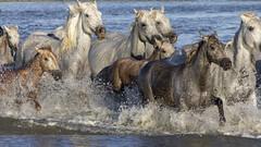 Promenade des poulains... (Xtian du Gard) Tags: xtiandugard camargue provence chevaux poulains juments natue france course galop chevauchée cavalcade ruée éclaboussures eau animaux sauvages horde 16x9