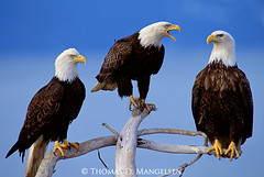 A Council of Three - Bald Eagles - Print 2474 (Khanhmytran) Tags: acouncilofthree alaska alert baldeagle baldeagles beak birds blue branch branches call council cry driftwood eagles group haliaeetusleucocephalus look looking minden perch perched print2474 shriek southeast three tree snag southeastalaska unitedstates