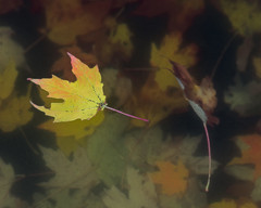 We All Float Down Here (Chancy Rendezvous) Tags: chancyrendezvous davelawler blurgasm dead leaves leaf dying fall autumn foliage yellow pond float floating water halloween lawler