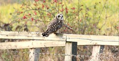 Short-eared Owl (Mick Lowe) Tags: common owl eared fence perched short seaton asio flammeus
