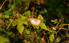 Snead Island (MJ6606) Tags: grass afternoon anartiajatrophae whitepeacock nature fall butterfly florida
