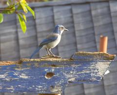 Urban bluejay on weathered wood (piranhabros) Tags: urbanbird blue weathered wood bluejay jay bird