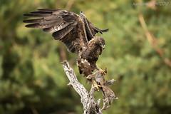 Golden Eagle (Ross Forsyth - tigerfastimagery) Tags: spain wildlife wild bird raptor eagle goldeneagle majestic wings avila avilacastillayleon free nature golden laparamera birdofprey bop