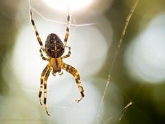 Pider (iPhilFlash) Tags: web bokeh spider macro arachnid britishcolumbia outdoor nature outdoors canada insect orbweaver coquitlam portcoquitlam