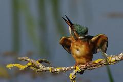 K32P3904c 'Twist and Shake' Kingfisher, Lackford Lakes, September 2018 (bobchappell55) Tags: lackfordlakes wild wildlife nature suffolk bird kingfisher alcedoatthis