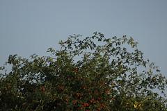 Common linnet - Linaria cannabina (Björn S...) Tags: bluthänfling hänfling flachsfink linariacannabina cardueliscannabina commonlinnet pardillocomún linottemélodieuse fanello fanellocomune fanelloeurasiatico