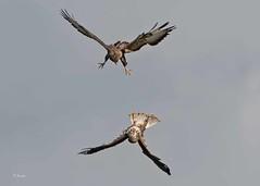 IMG_5789 Common buzzard (Dennis Swaby) Tags: bird raptor buzzard commonbuzzard