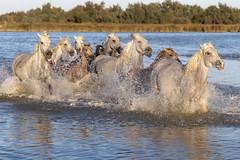 Chevauchée 3 (Xtian du Gard) Tags: xtiandugard chevauchée chevaux cavalcade course eclaboussures camarghe provence france saintesmariesdelamer troupeau reflet horses nature naturesauvage